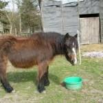 pony cushings